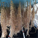 Kufri Lauvkar Potato Seed, Packaging Size: 50 Kg, Packaging Type: Gunny Bag