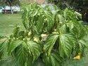 Noni Fruit Plants