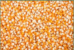 Yellow Dry Maize, High in Protein