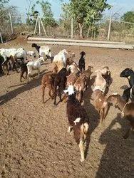 Farm Animals - Wholesale Price & Mandi Rate for Farm Animals