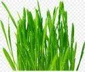 Wheat grass Cream