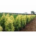 Cypress Plant