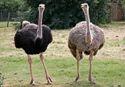 Ostrich Breeder Feed