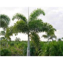 Fox Tail Palm