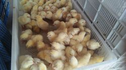 Male Broiler Chicks