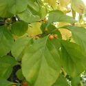 Celastrus Orbiculatus Seed