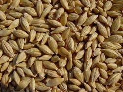 Barley (Grade-A)