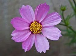 Purple Cosmos Flower Seeds