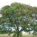 Leucaena Leucocephala Plants