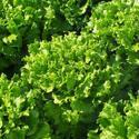 Rijkzwaan Nice Green Starfighter Batavia Lettuce Seed For Agriculture