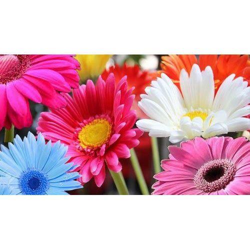 Gerbera Daisy Flower At Rs 30 Bunch Hsr Layout Bengaluru Id 19942774462