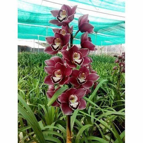 Maroon Burgundy Mini Cymbidium Orchid Tropical Flower Plant