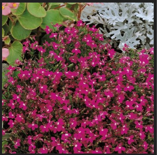 Lobelia Cardinal Flower Rosamund Flower Seed At Rs 129 Pack