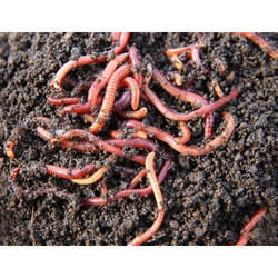 Eisenia Fetida Earthworm