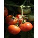 Fresh Tomato Seeds TM - 1507