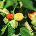 Ashwagandha Plant