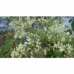Moringa Dry Flowers