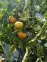 Tomato Hybrid Seeds