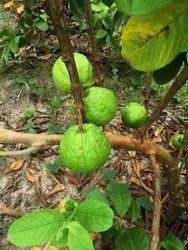 Guava Plants L 49