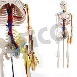 Human Skeleton at Best Price in India