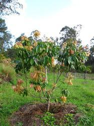 Lychee Grafted Plant