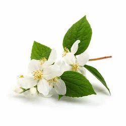 Jasminum Auriculatum Jasmine Oil
