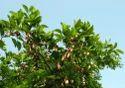 Pongamia Biodiesel Plantation Kit
