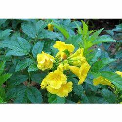 Tecoma Stans Flower