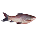Rohu Fish, For Mess, Packaging Type: Thermocol Box