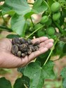Jatropa/ Ratanjot / Barbados Nuts / Jatropa Curcas / Bio Diesel / Bio Fuel Plant Seeds