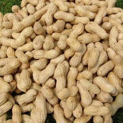 Swagat Raw Groundnut, Packaging Size: 20-80 Kg, Packaging Type: Plastic Box