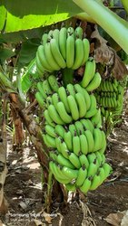 A , B, C Grade Maharashtra Saba Green Banana
