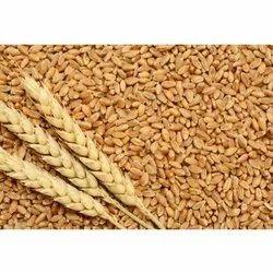 Golden 306 Wheat Grain, Gluten Free, Packaging Size: 50 Kg