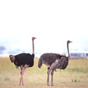 Ostrich Maintenance Feed