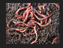 Earthworm Castings Organic Fertilizer
