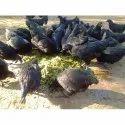 黑色卡达克纳成年鸡,高,2-5公斤