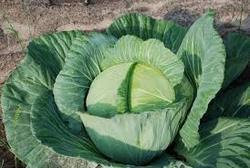 Elegate F1 HY Cabbage Seeds