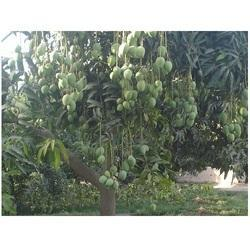 DASHERI MANGO PLANTS