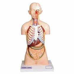 Human Body Torso