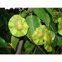 Pterocarpus Santalinus Seed