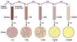 Lactobacillus Enumeration