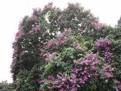 Lagerstroemia Speciosa Plants