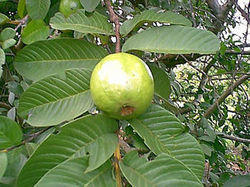 Thai White Guava Plant
