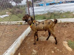 Pet Goat in Mumbai, पेट बकरी, मुंबई - Latest