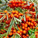 Seabuck Thorn Berries