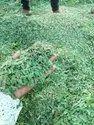 Dry Lemon Grass