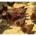 Kuroiler Chicks
