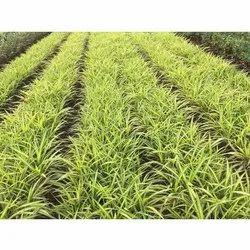 Pandanus Grass