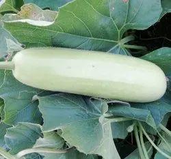 Organic Bottle Gourd, Pack Size: 20 kg Carton