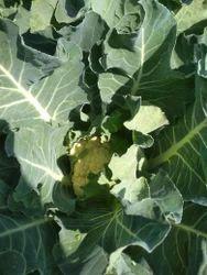Cauliflower, No Preservatives & Pesticide Free